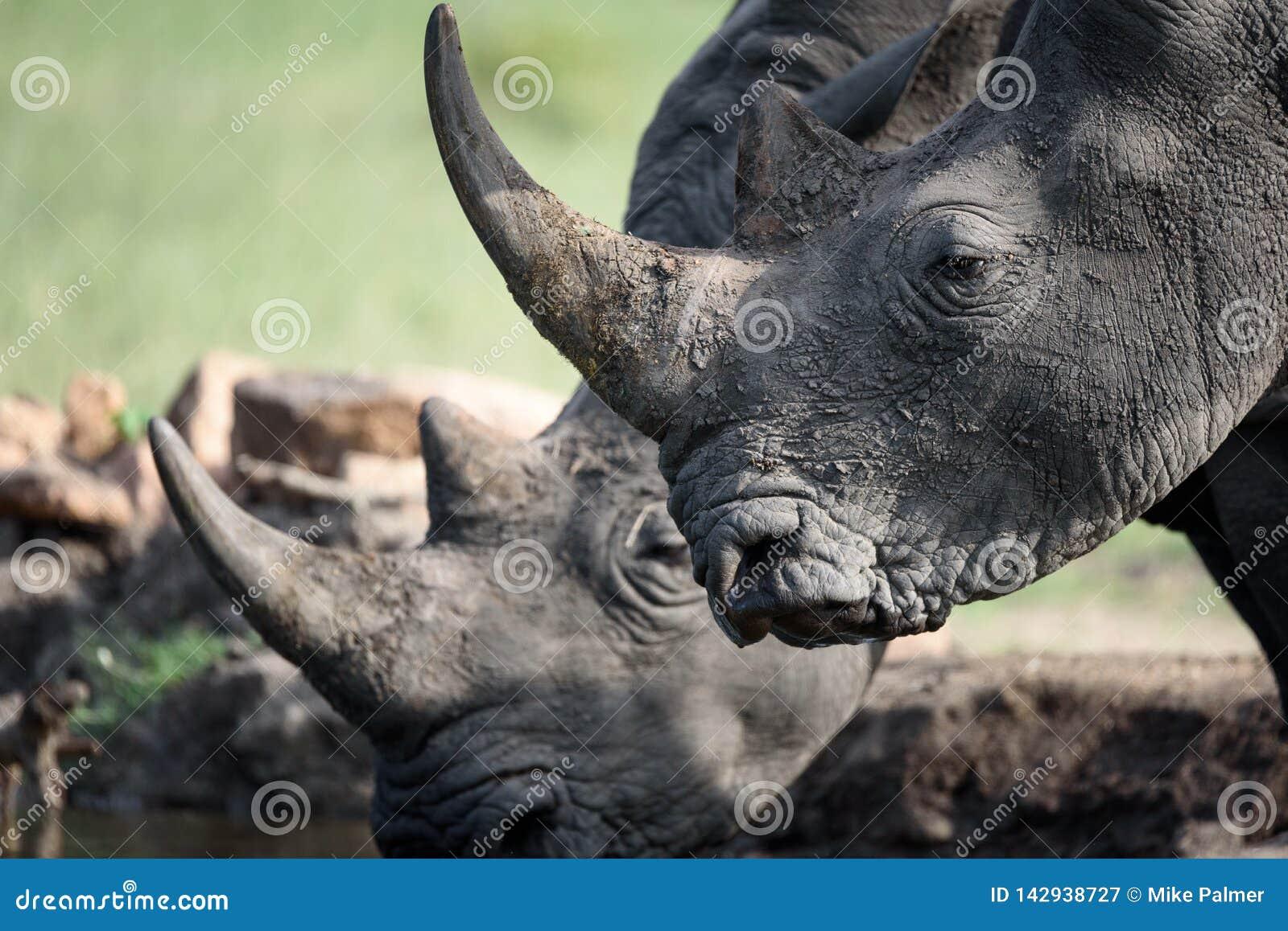 Rinoceronte bebendo