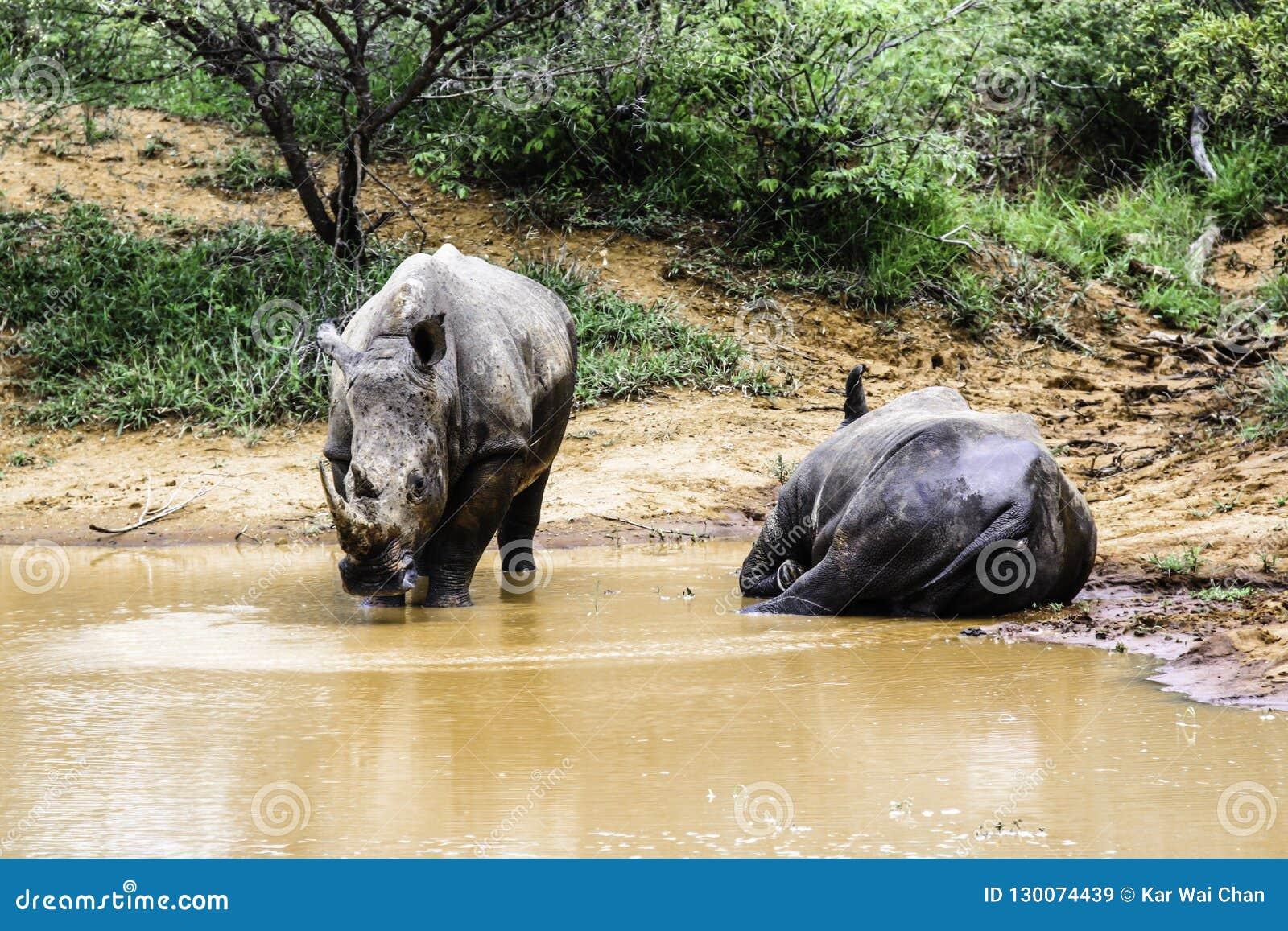 Rinoceronte bianco del sud due nel parco nazionale di Kruger dell acqua