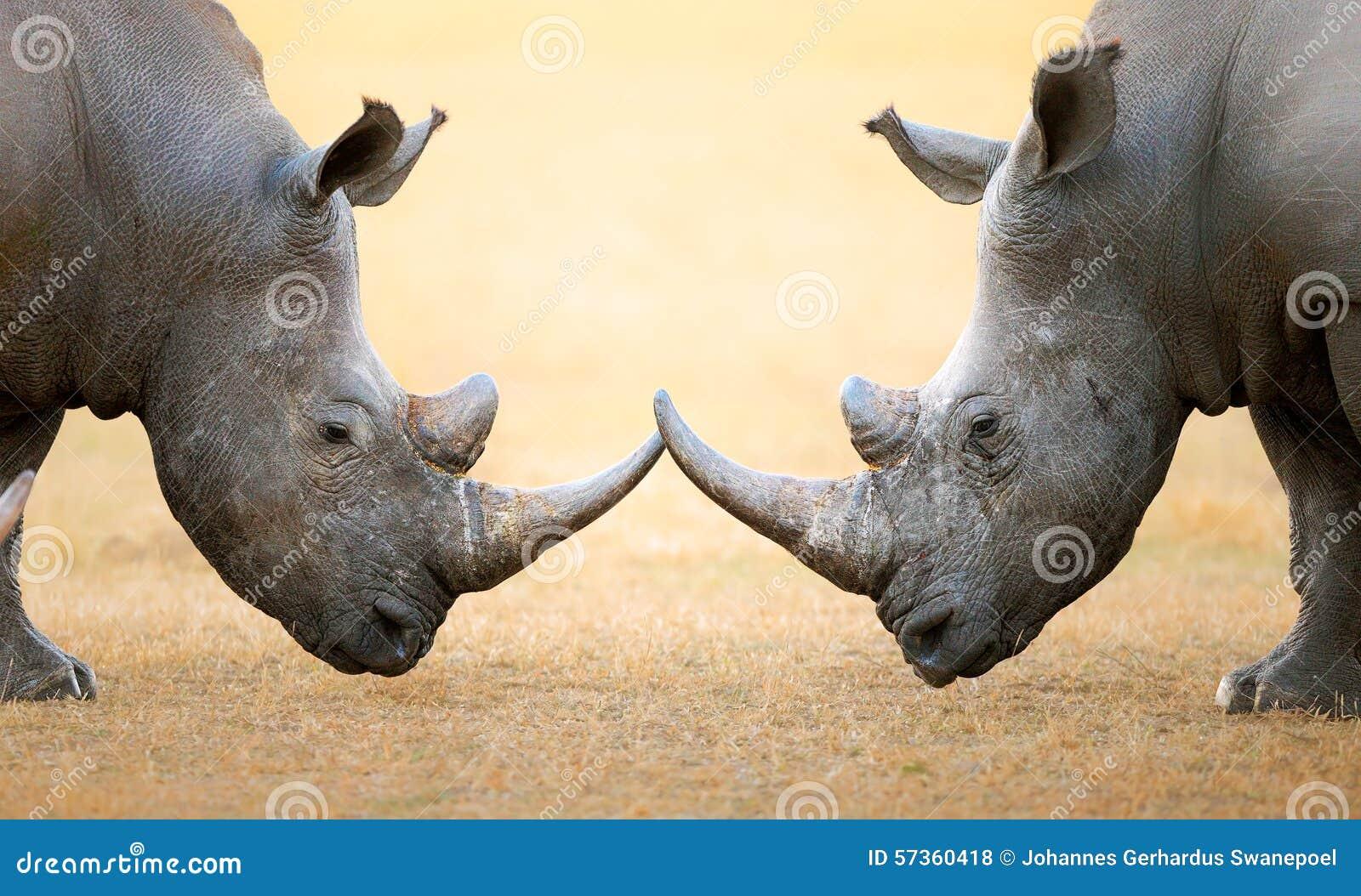Rinoceronte blanco comparativo