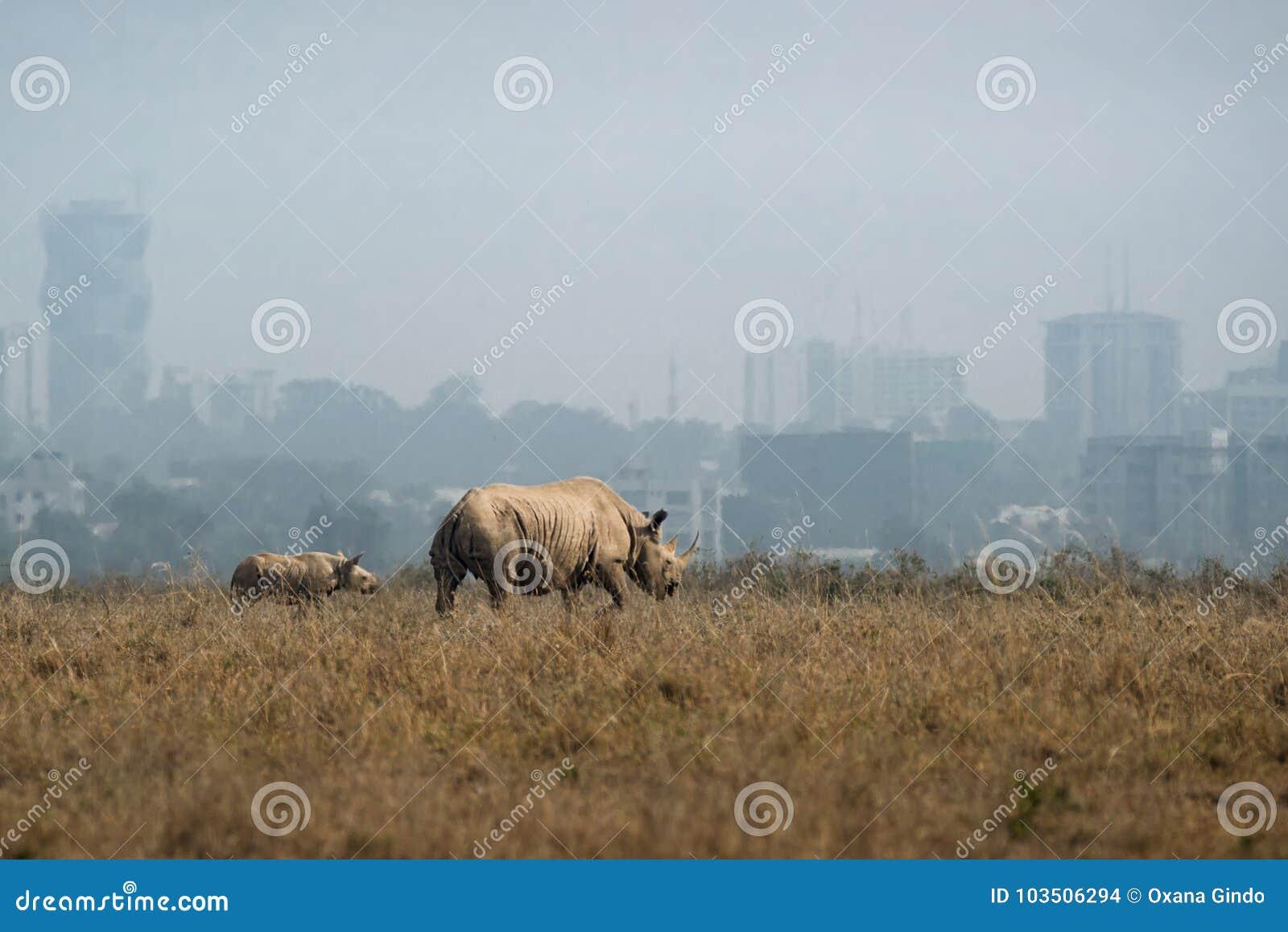 Rinoceronte blanco con el bebé en el fondo de la ciudad