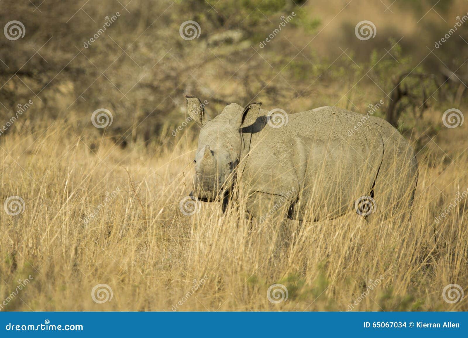 Rinoceronte blanco del bebé en Suráfrica