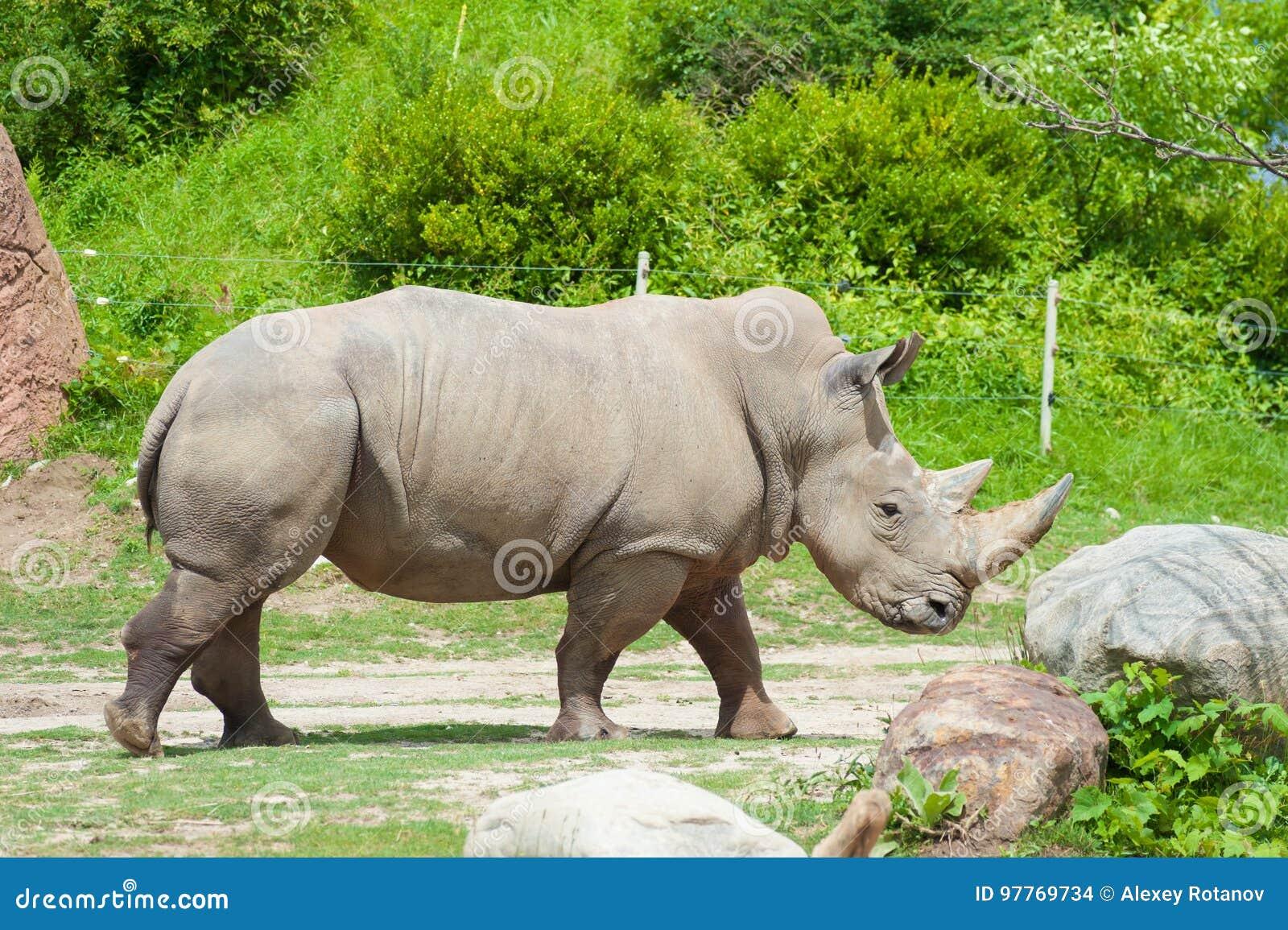 Rinoceronte branco do sul