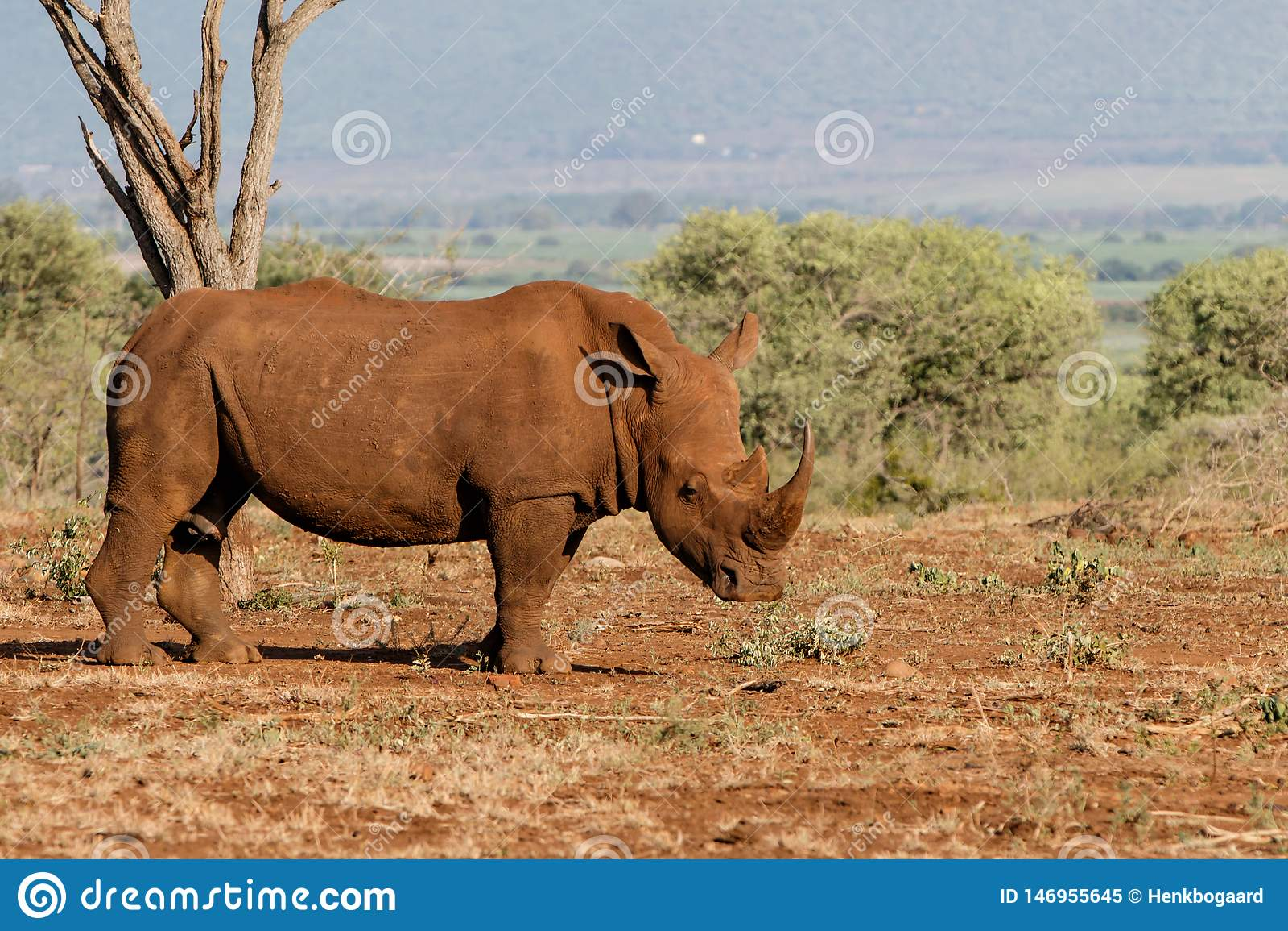 Rinoceronte branco em ?frica do Sul