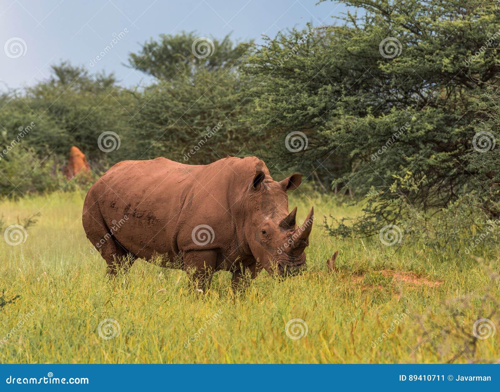 Rinoceronte branco, parque nacional do platô de Waterberg, Namíbia