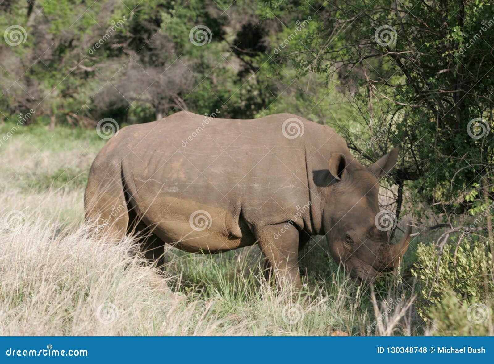 Rinoceronte che pasce nel Sudafrica