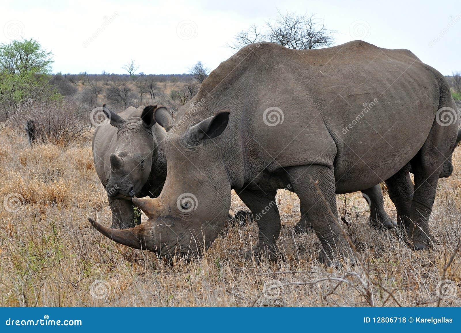 Rinoceronte com calv, Kruger NP, África do Sul