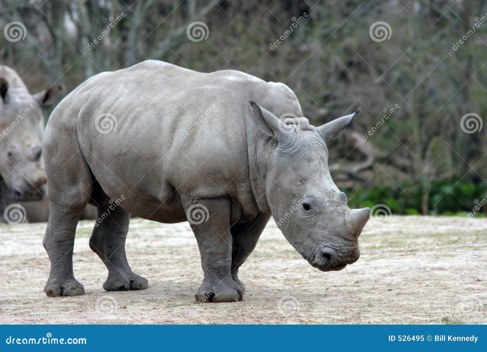 Rinoceronte do bebê