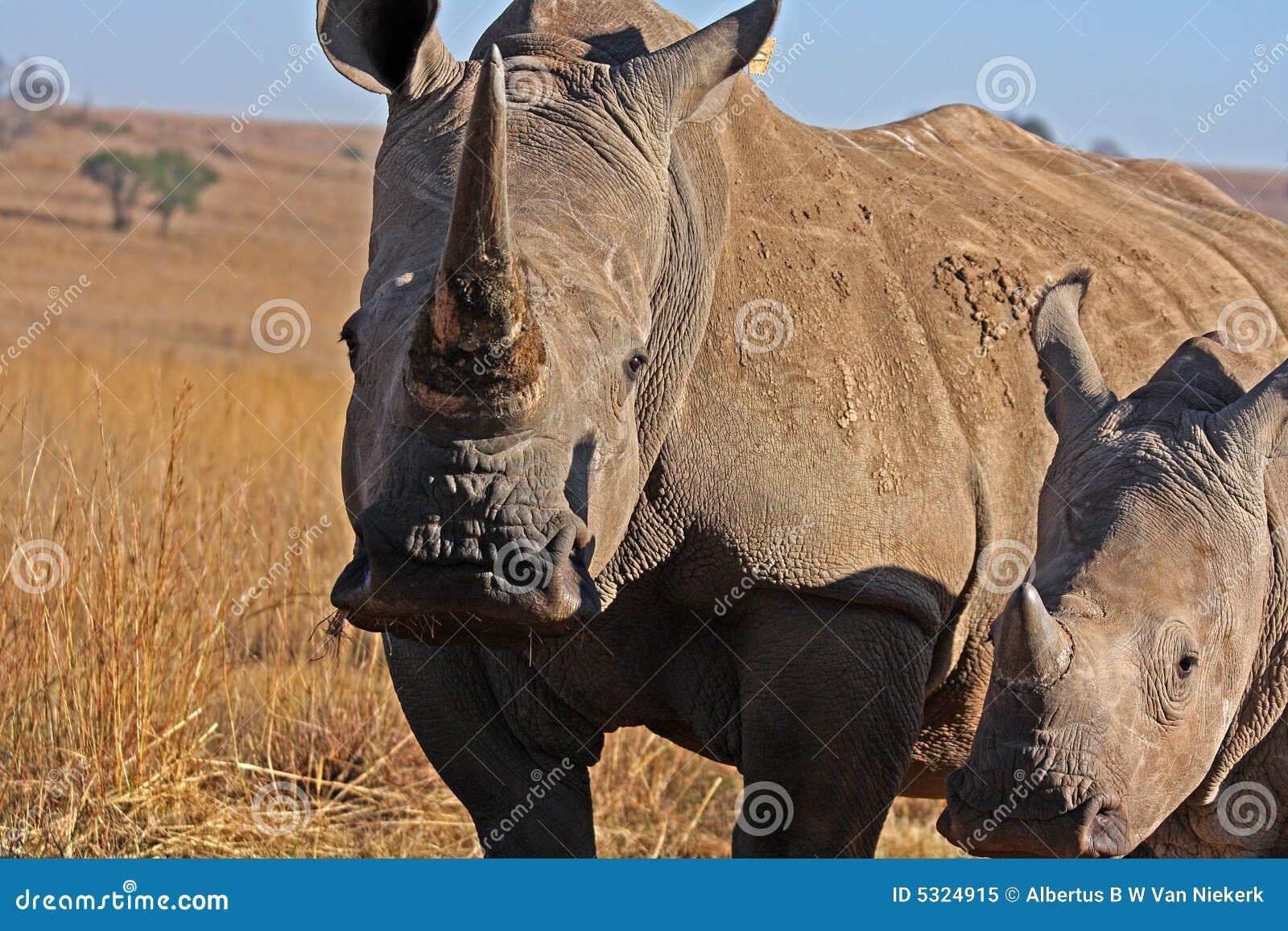 Download Rinoceronte E Madre Che Camminano Nel Campo Immagine Stock - Immagine di mammifero, rhinoceros: 5324915