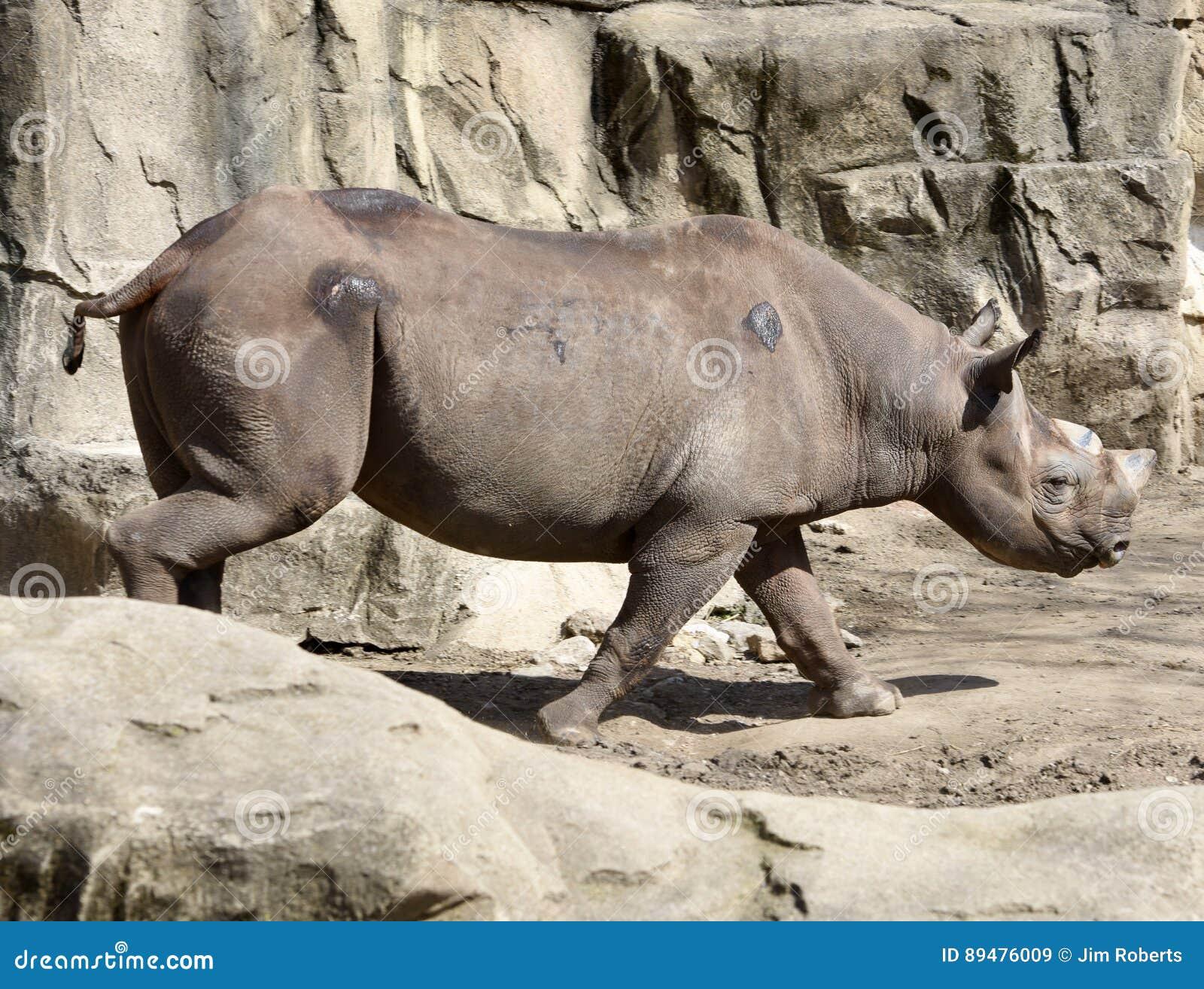 Rinoceronte en el vagabundeo