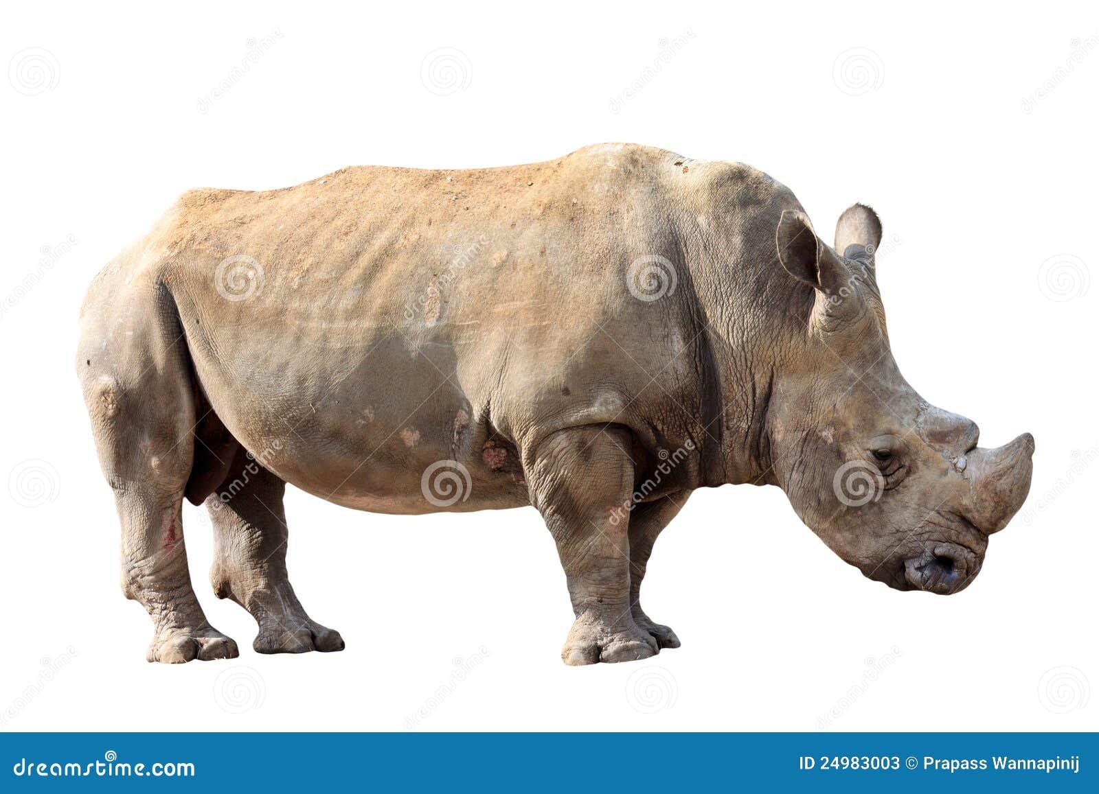 curvo africano pecho enorme