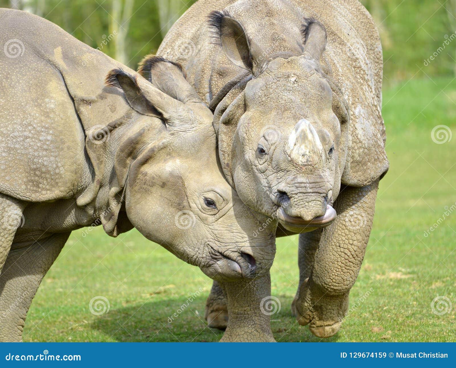 Rinoceronte indio del primer dos