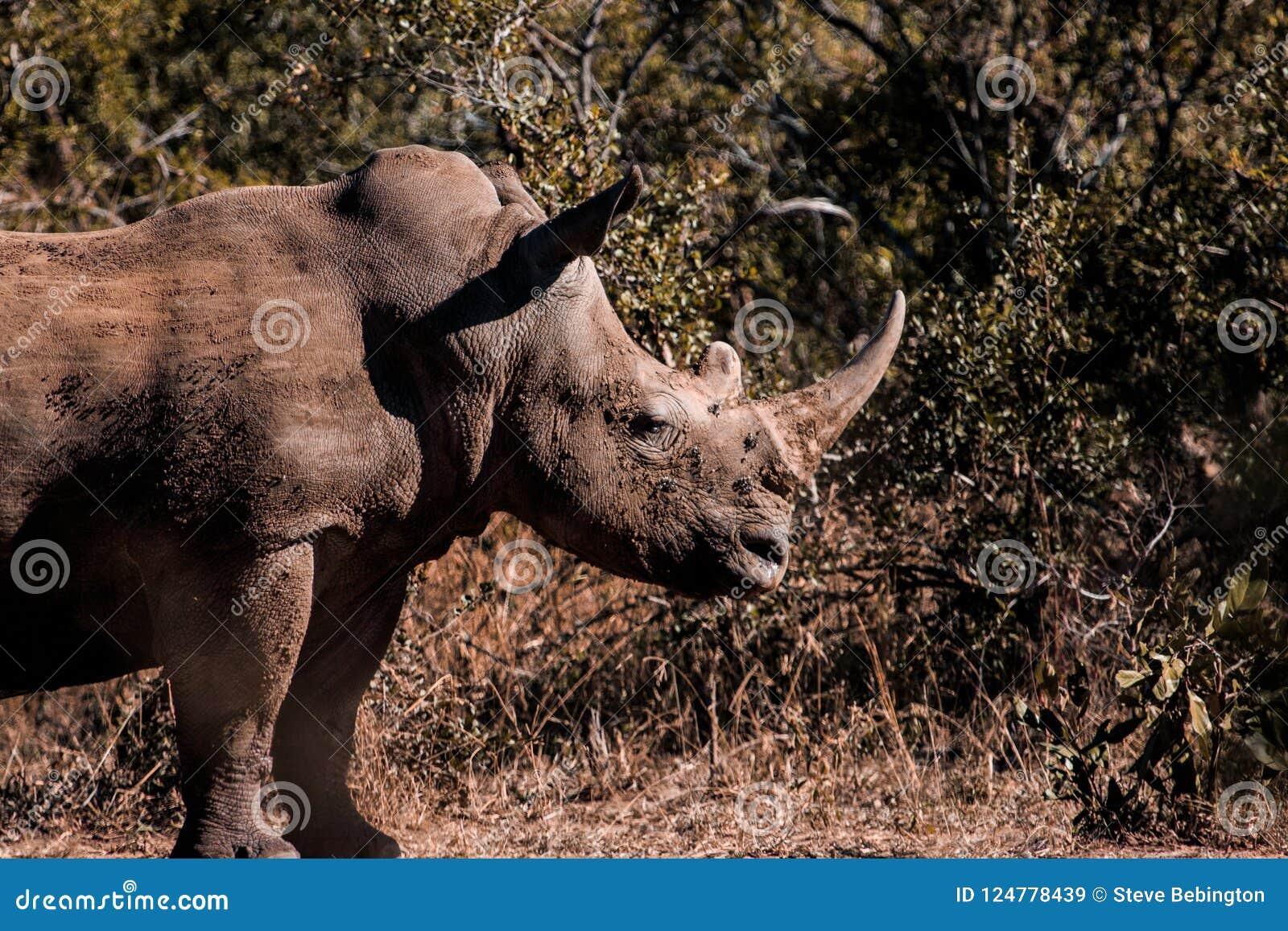 Rinoceronte Lama-endurecido