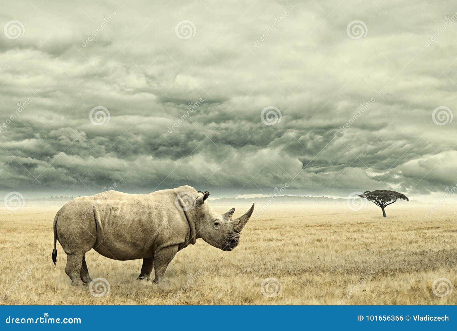 Rinoceronte que se coloca en savana africano seco con las nubes dramáticas pesadas arriba