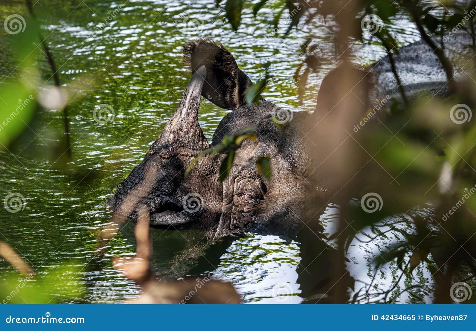 Rinoceronte que toma un baño en el río
