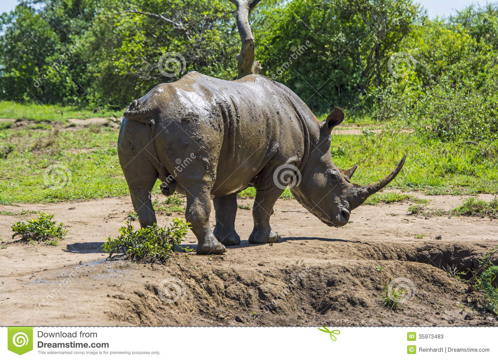 Rinoceronte salvaje