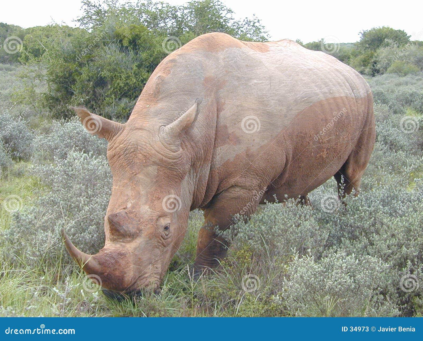 Rinoceros 3/4
