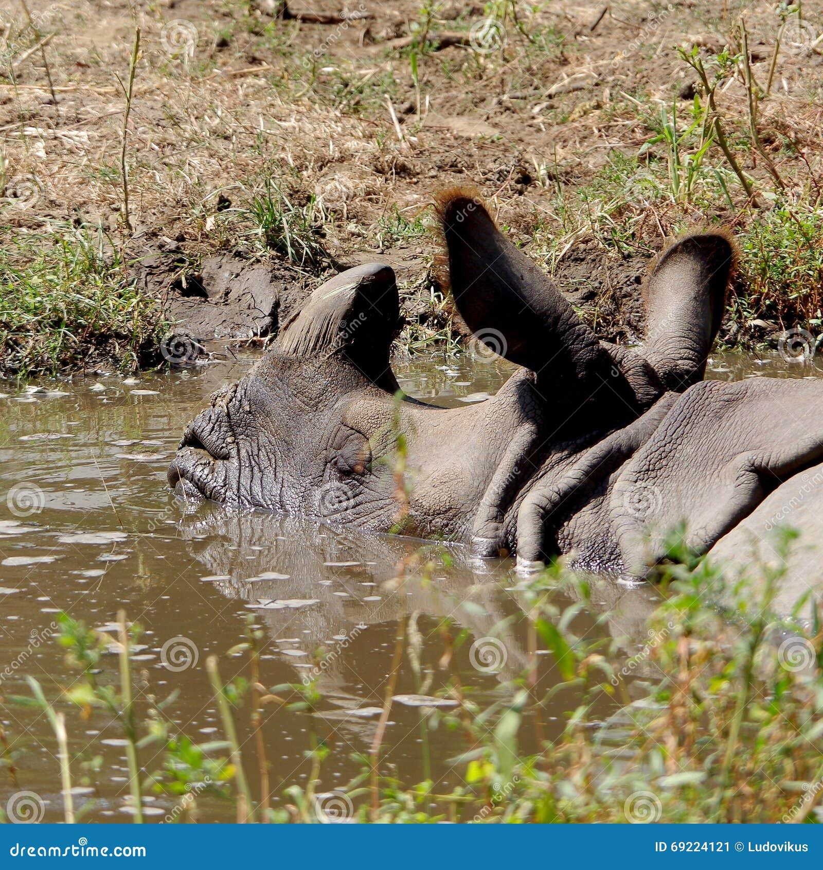 Rinoceros in gevangenschap