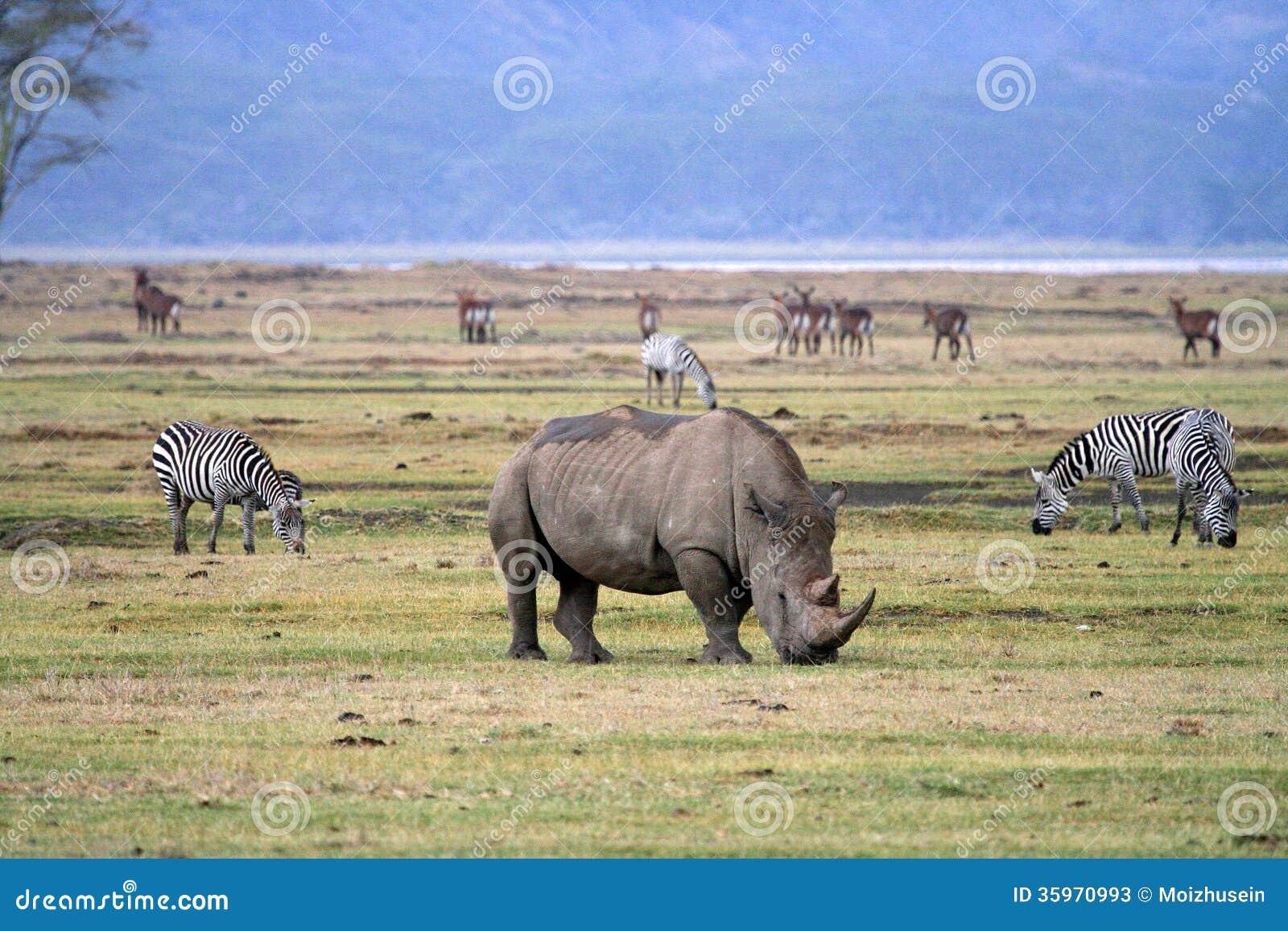 Rinoceros in het nationale park van Tanzania