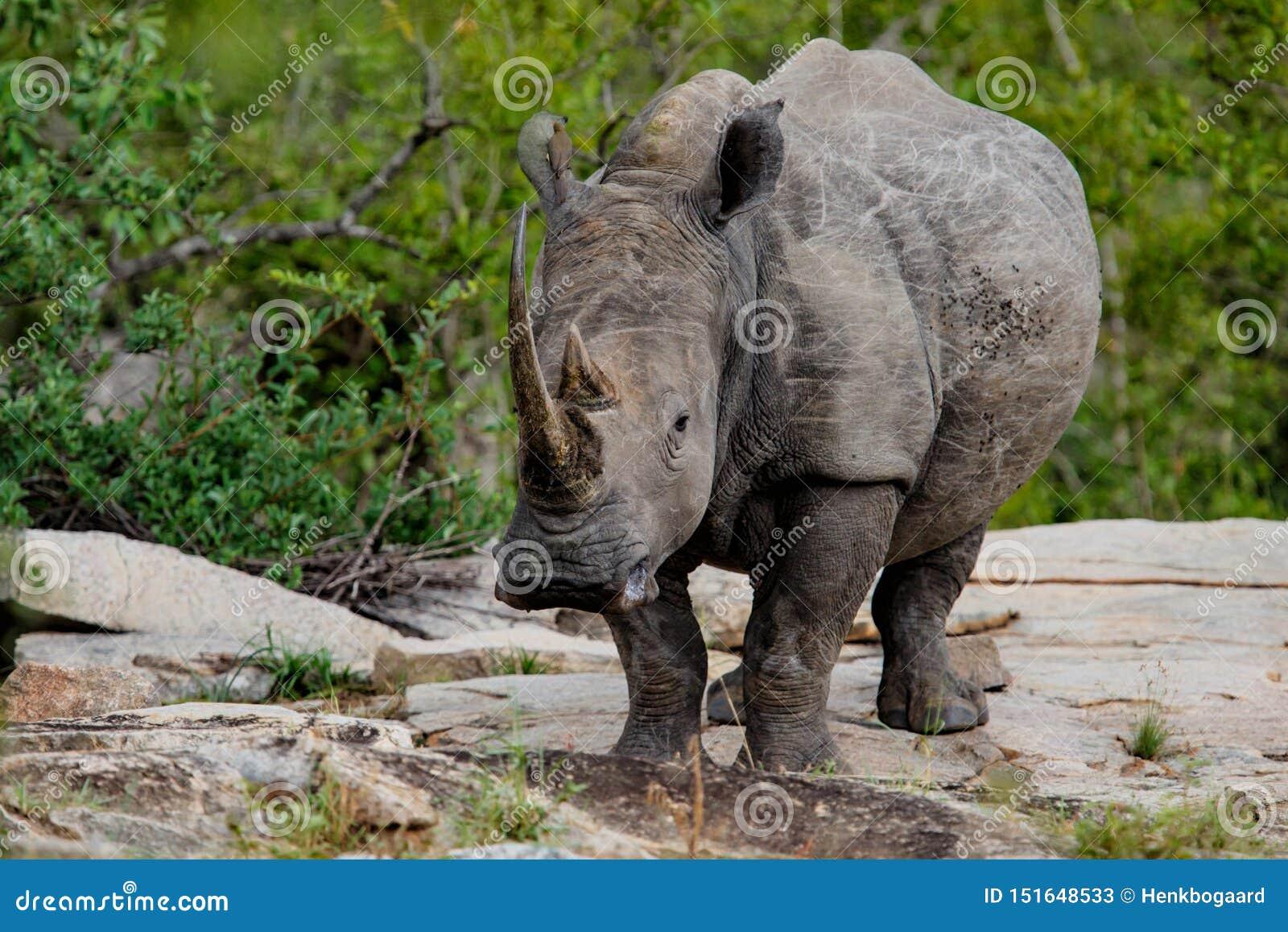 Rinoceros met omhoog hoofd