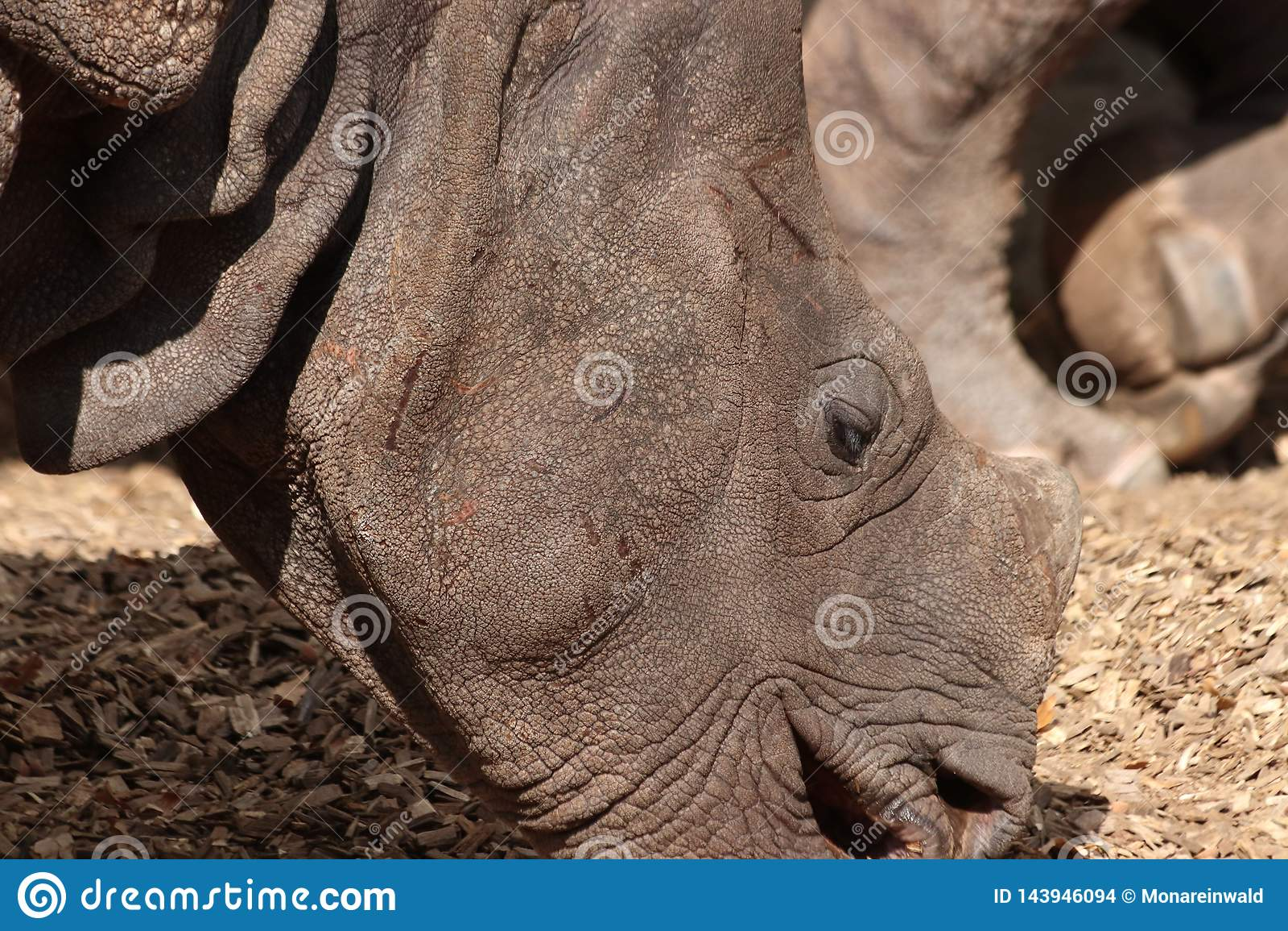 Rinoceroshoofd in Nadruk in dierentuin in Duitsland in Nuremberg
