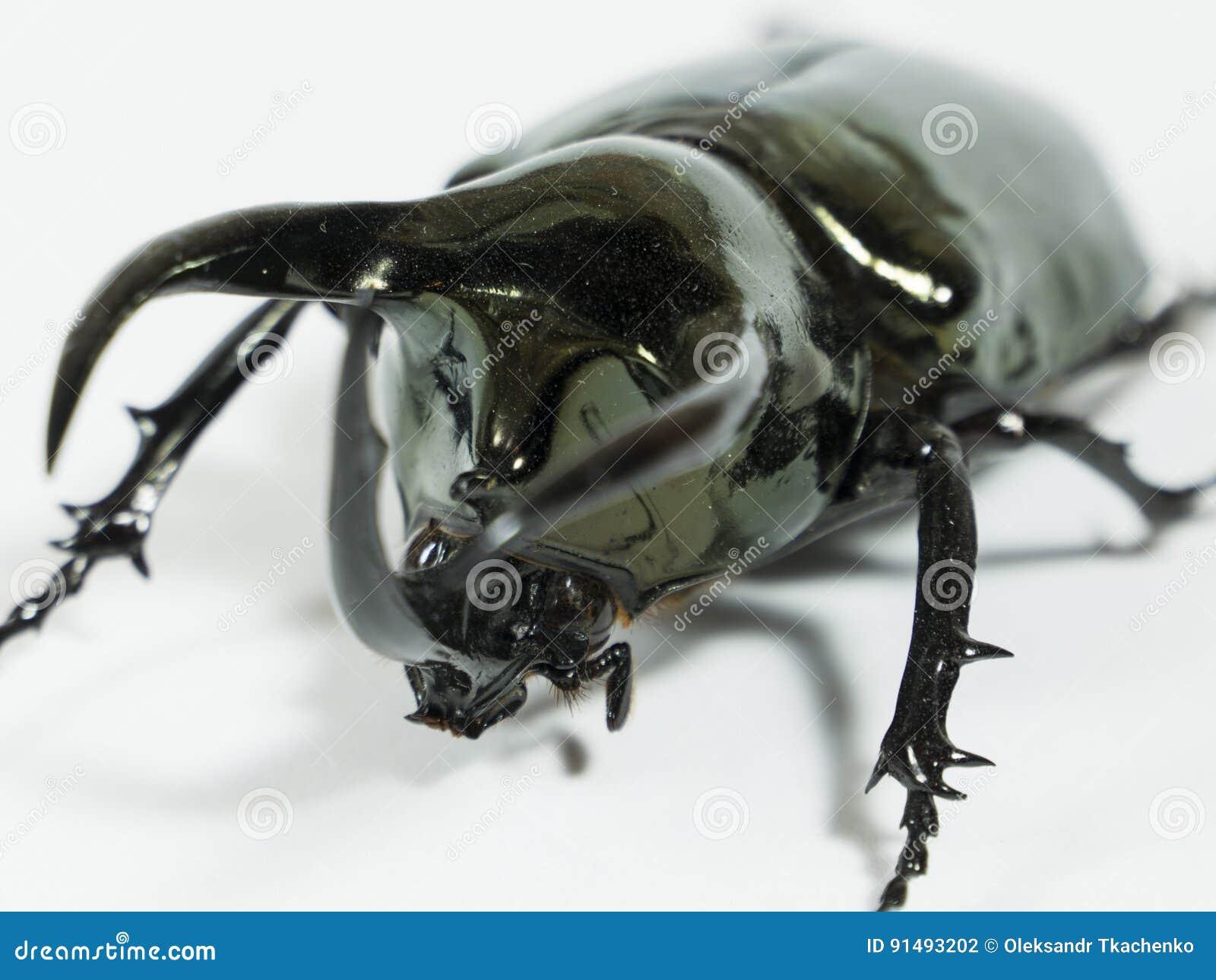 Rinoceroskever Chalcosoma de Kaukasus, Rinoceroskever, Eenhoornkever, geïsoleerde Hoornkever