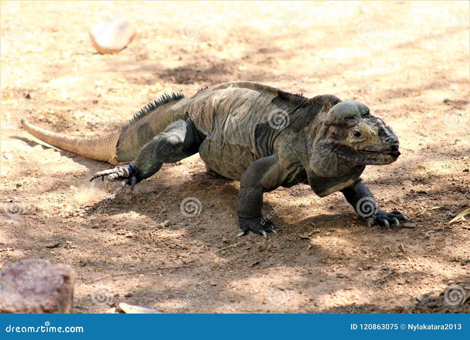 Rinocerosleguaan, Cyclura Cornuta, Phoenix, Dierentuin, Phoenix, Arizona, Verenigde Staten