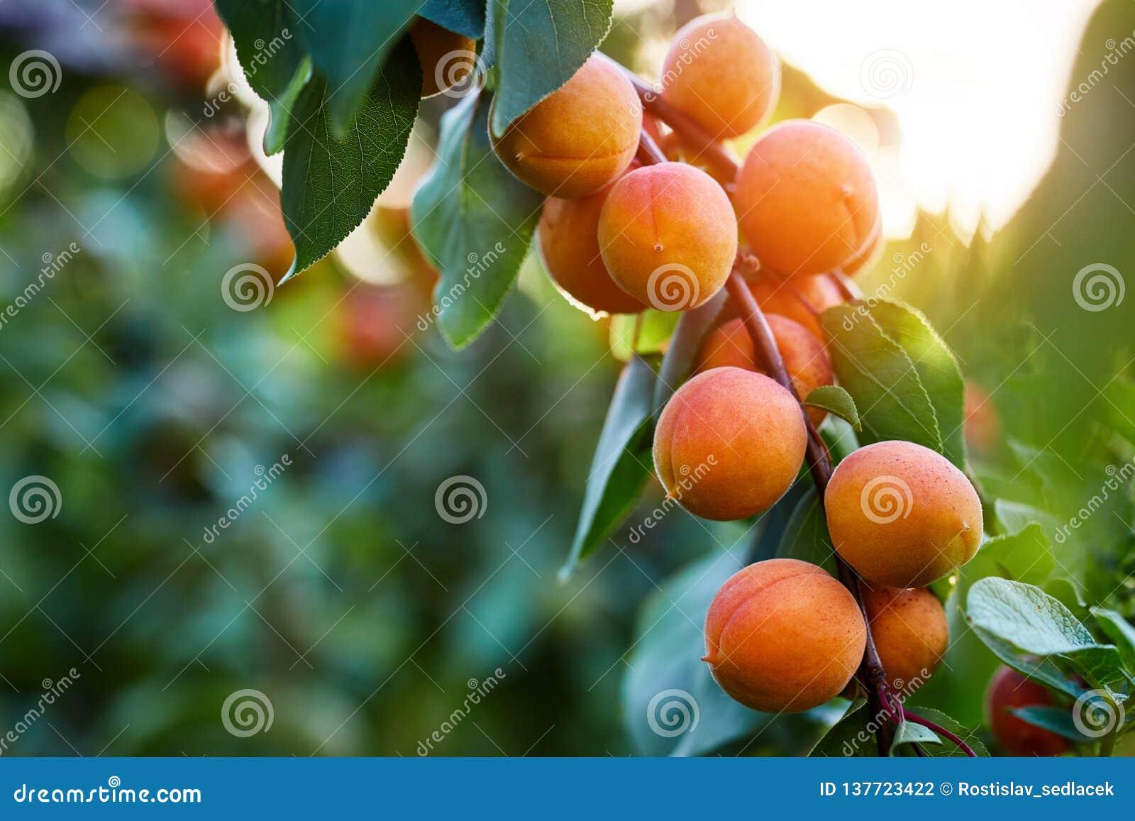 Ripe apricots branch in sunlight