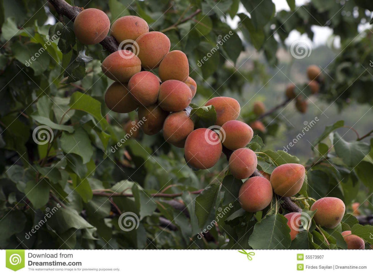 how to grow apricots tree