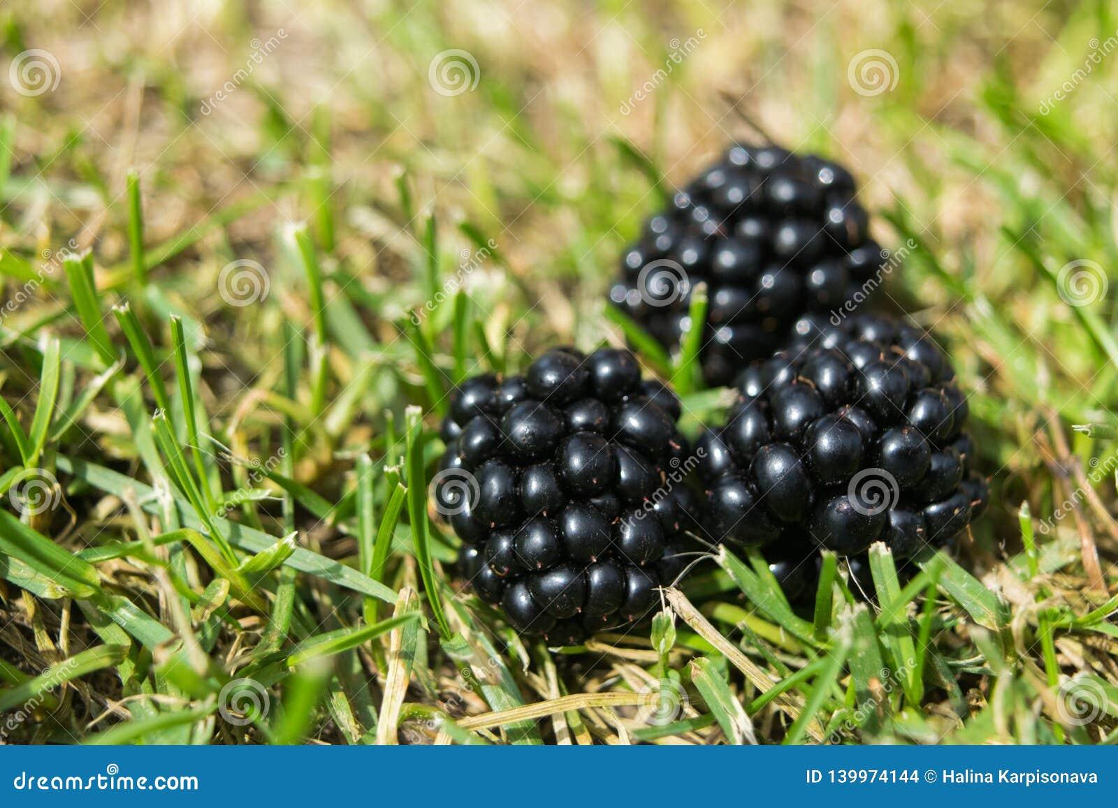 Ripe blackberries on summer green grass