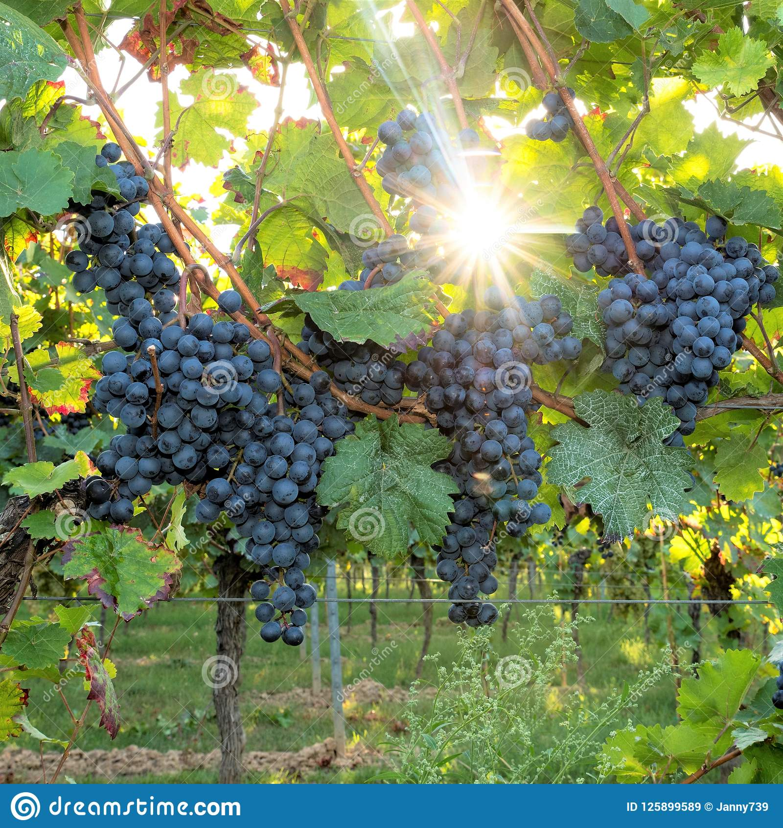 Ripe blue grapes hang in the backlight of the sun on the bush