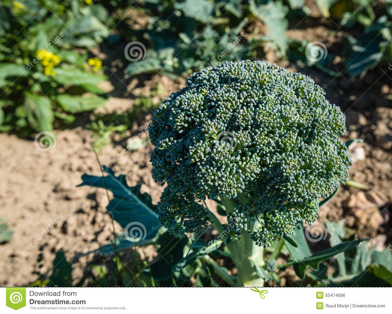 Mature broccoli plant pictures