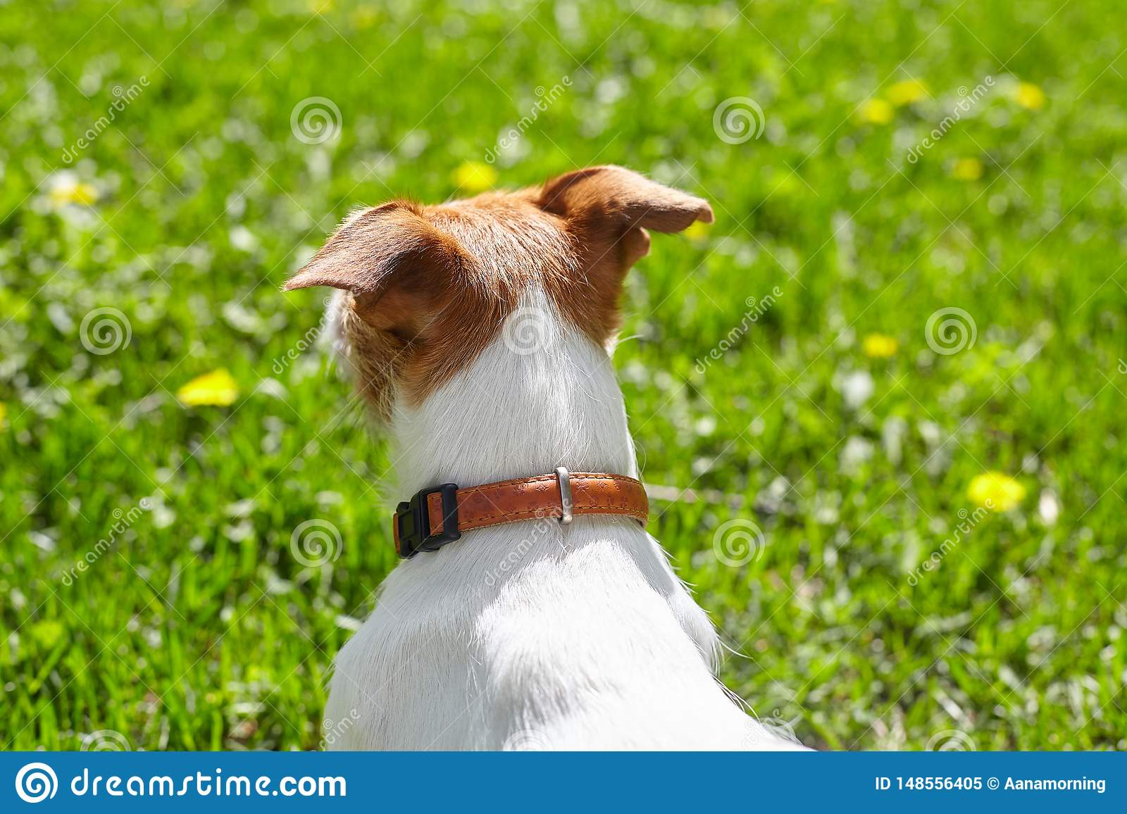 Cute Jack Russell Terrier pet dog looking at the green lawn on a sunny summer day