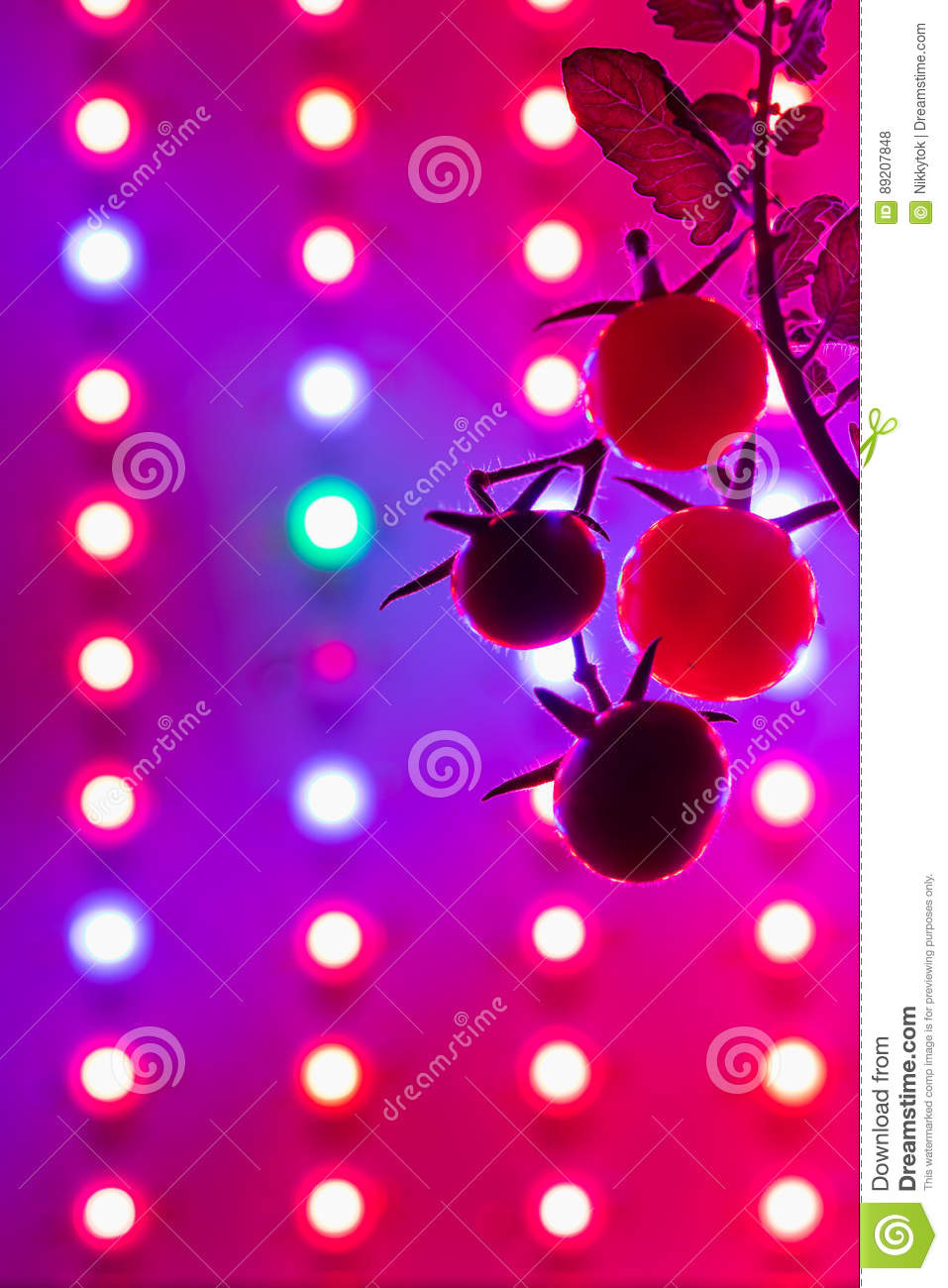 Ripe Cherry Tomatoes Silhouette Against Led Grow Lamp Stock