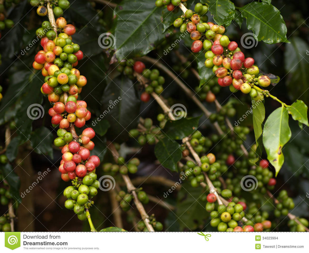 coffee bean fruit