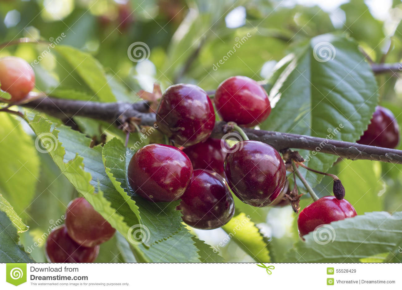 Ripe dark-red cherries on cherry tree brunch