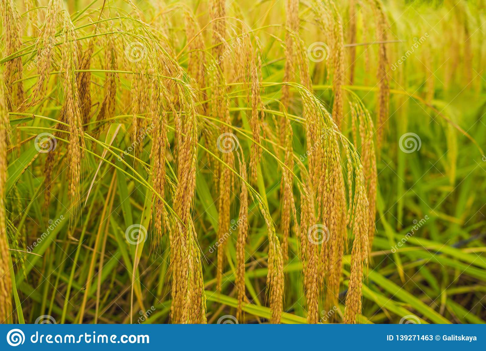 Ripe ears of rice. Closeup of rice ear on plantation