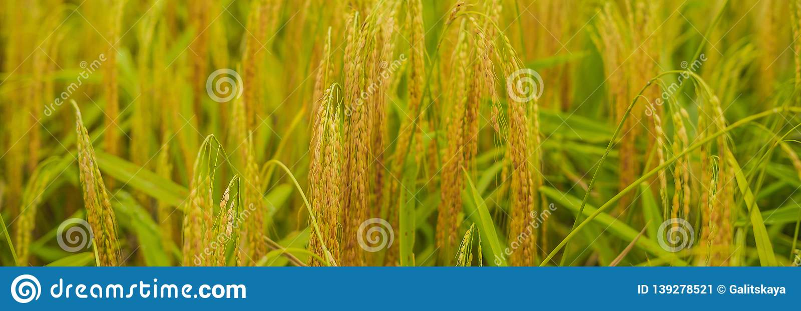 Ripe ears of rice. Closeup of rice ear on plantation BANNER, long format
