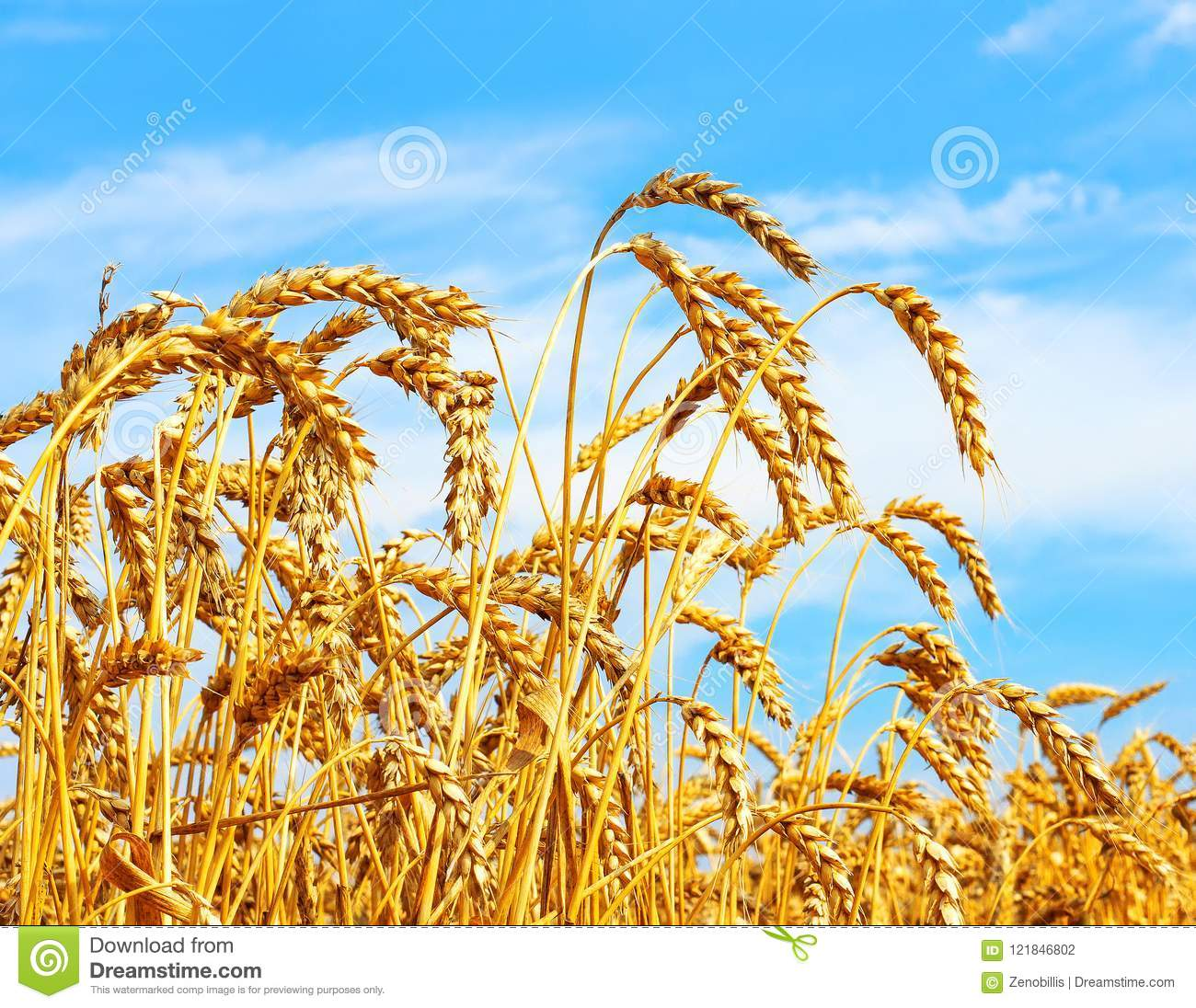 Ripe ears of wheat in field during harvest. Rural agriculture concept