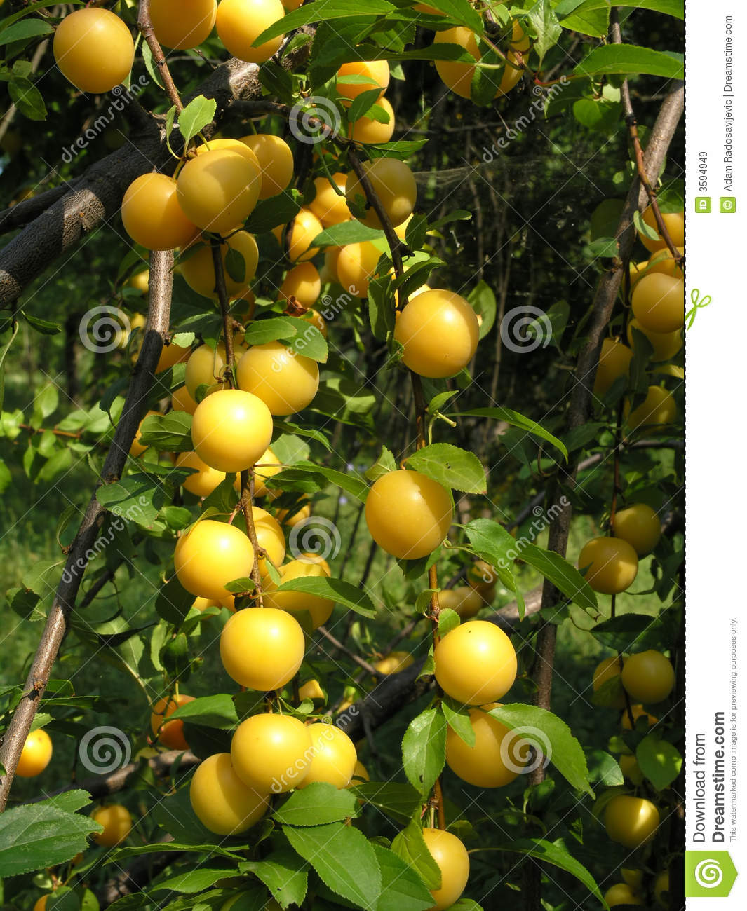 Ripe Fruit On Tree Branches Stock Image - Image: 3594949