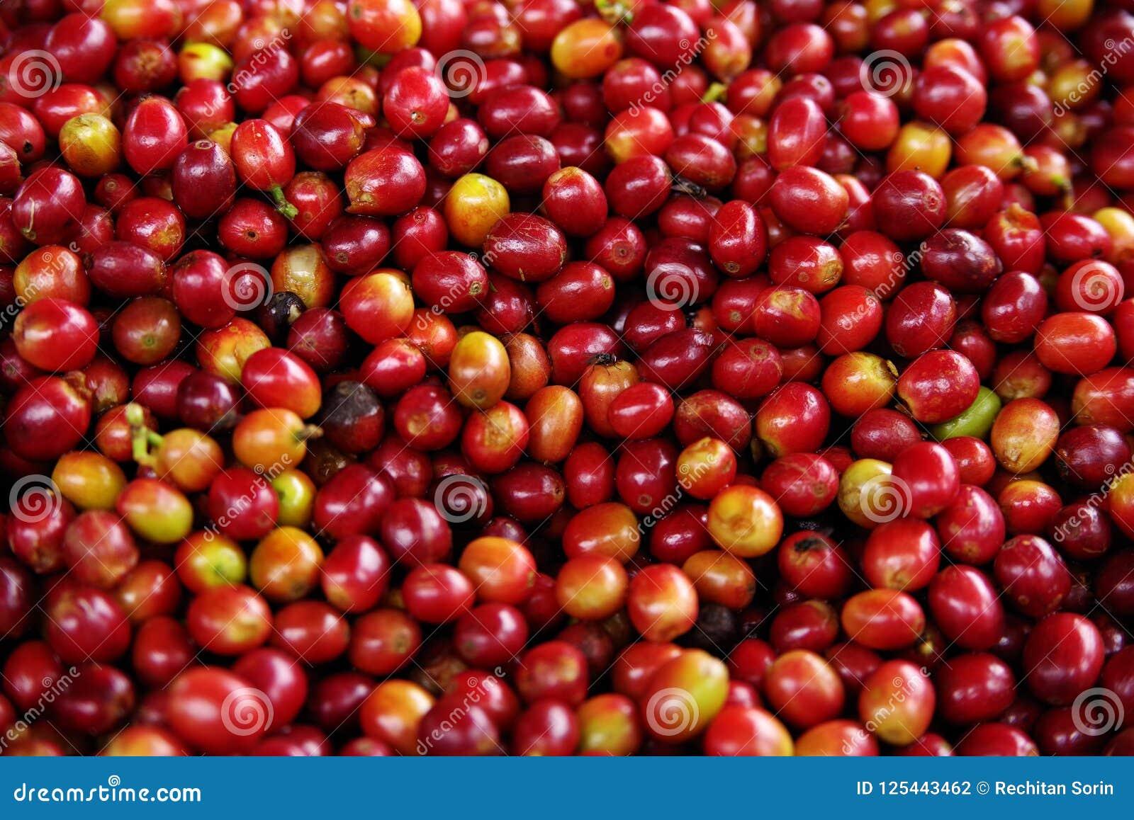 Ripe fruits of the coffe tree. Coffee plantations in Quindio - Buenavista, Colombia