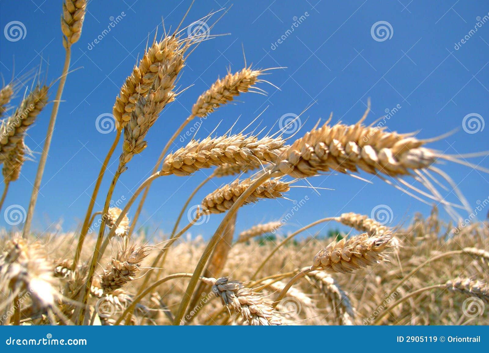 Ripe Golden Barley Fie...