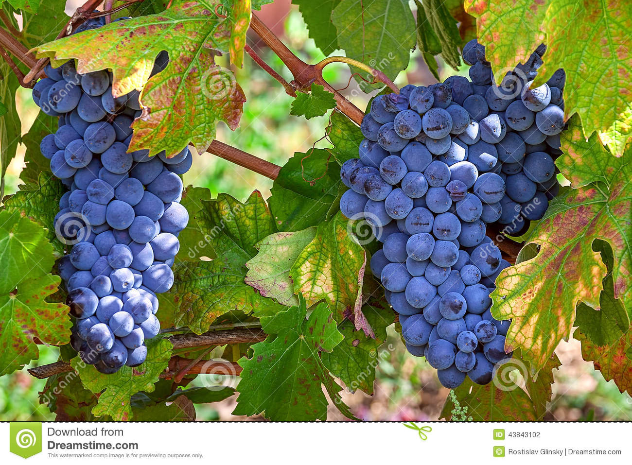 Ripe grapes of piedmont italy stock photo image 43843102 for Green italy