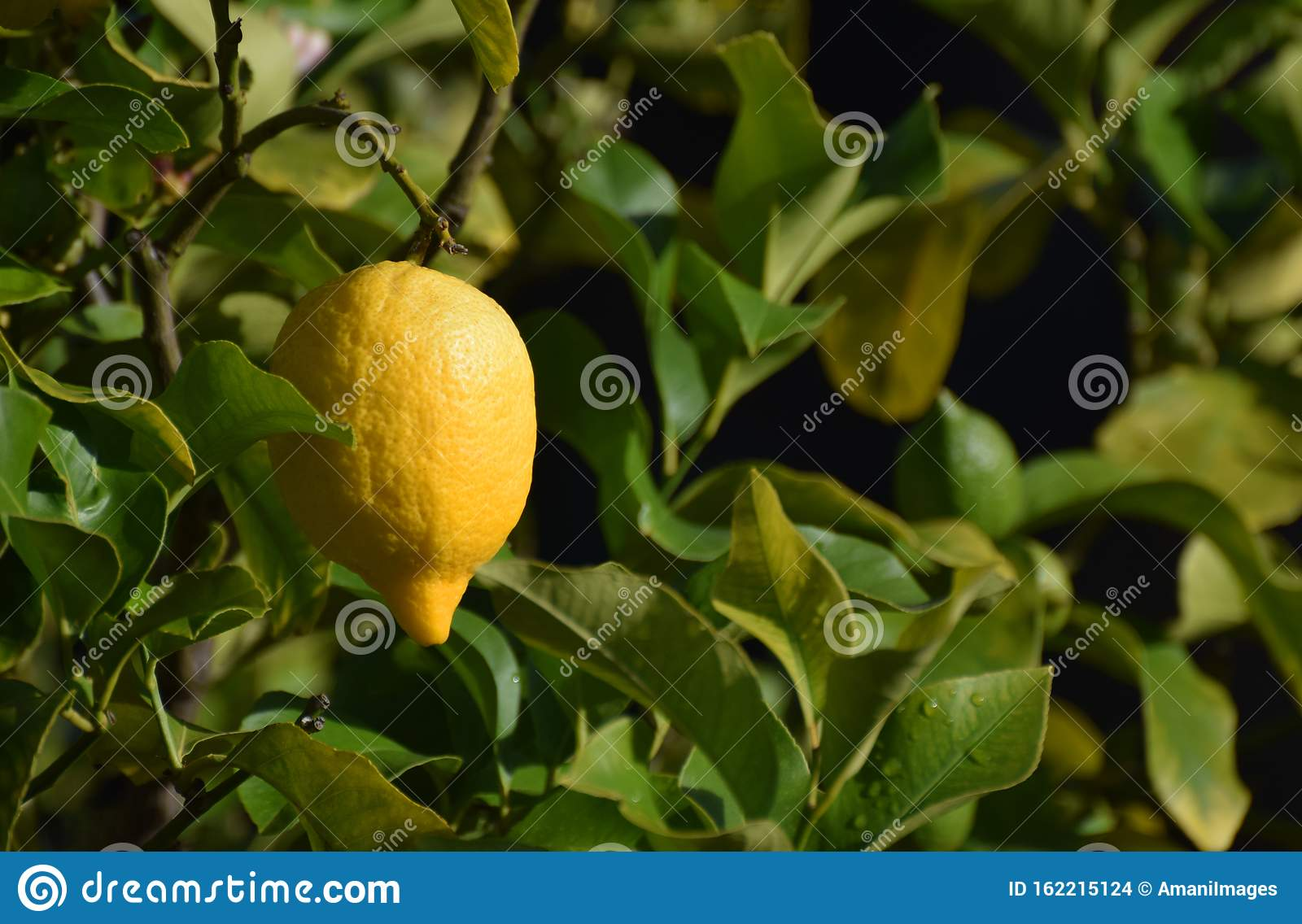 Ripe lemon fruit hanging on a tree