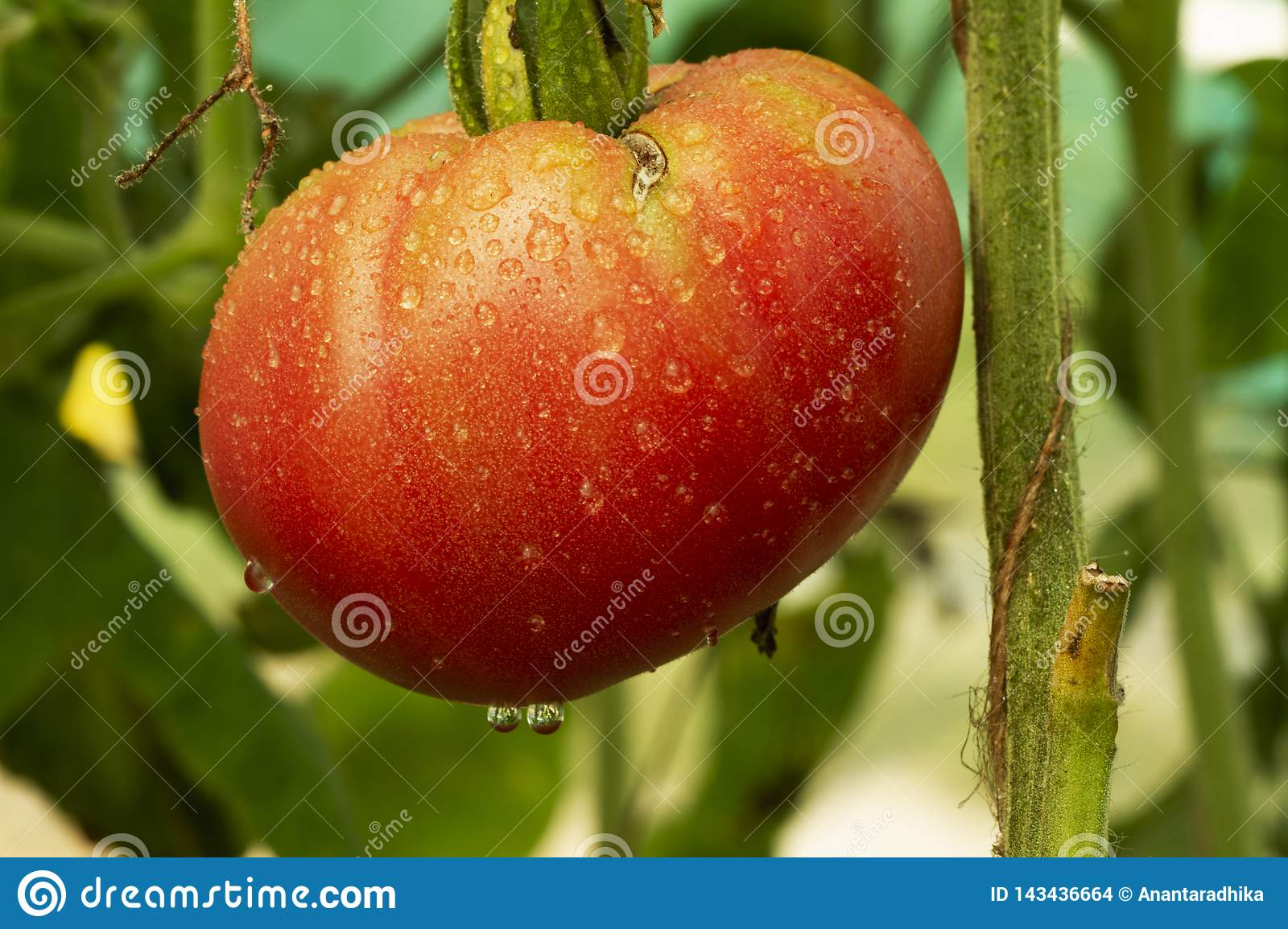 Ripe natural red tomato ready for harvest grows on a branch in a greenhouseShallow depth of field. large organic tomato