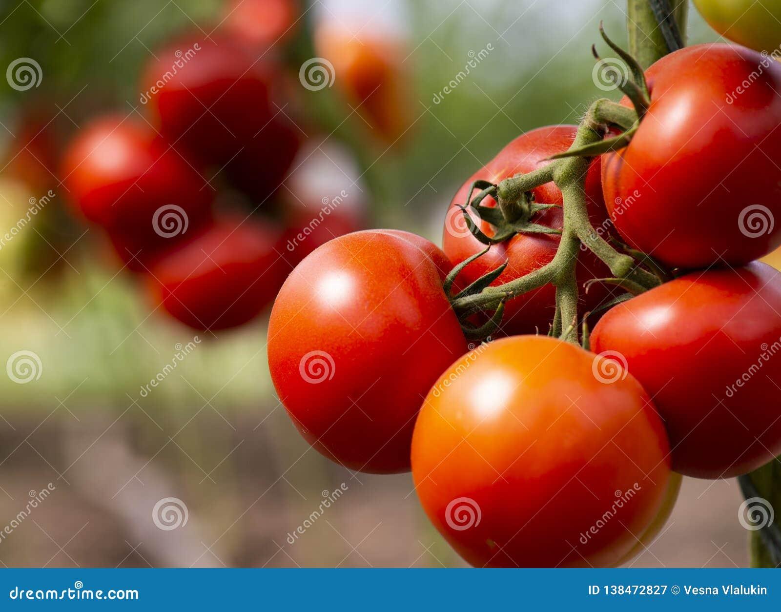 Mature cherry tomato excellent