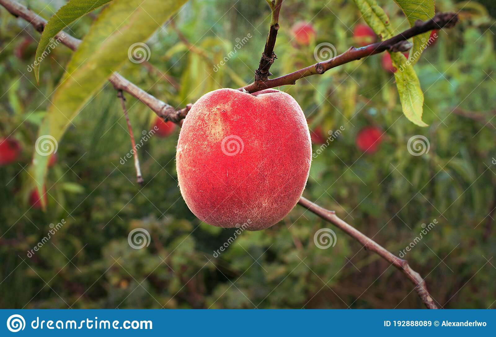 Peach Tree With Ripe Peaches Stock Image Image Of Background Copy 192888089