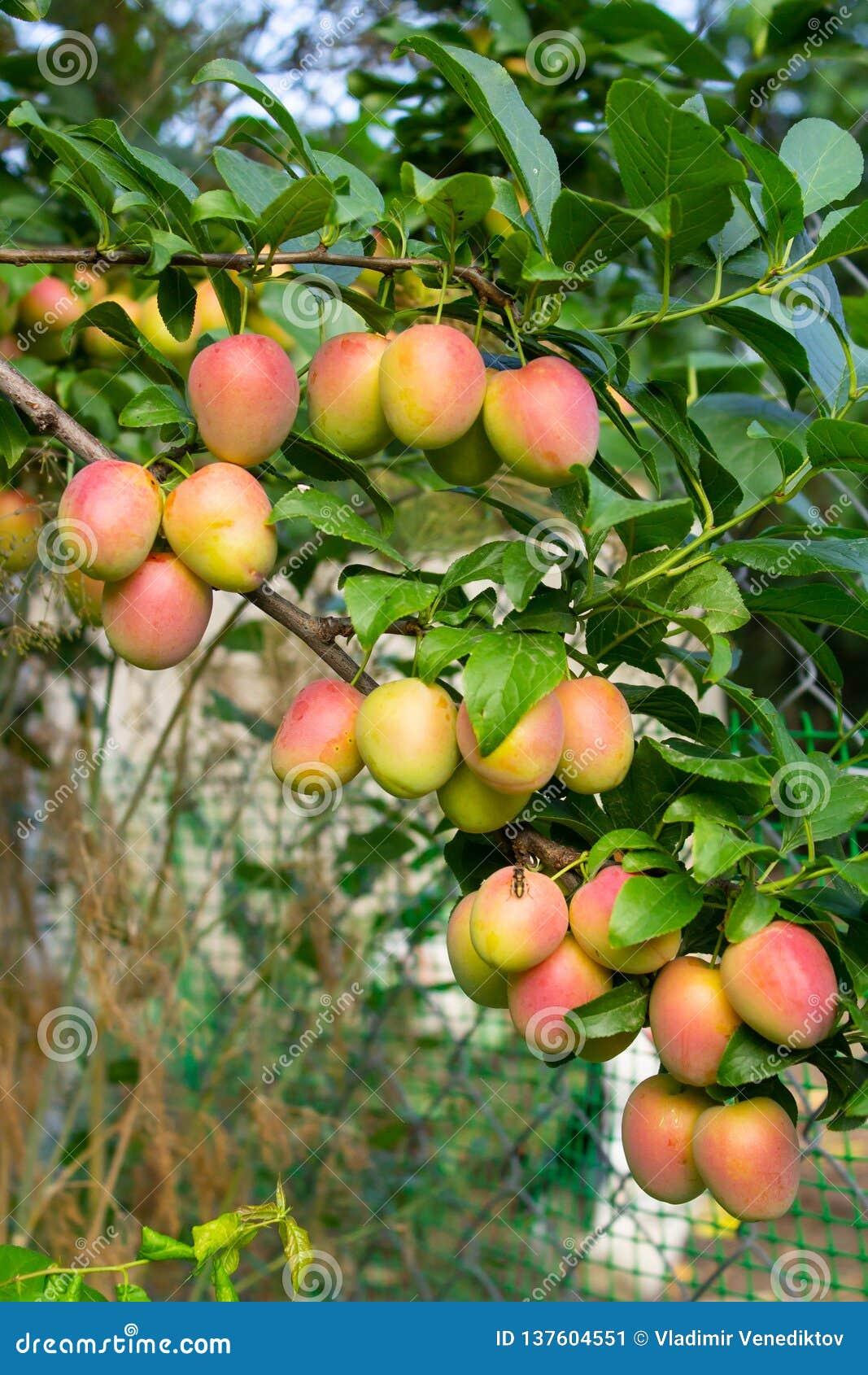 Ripe plum on a branch close-up