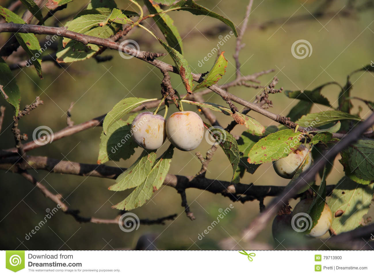 Ripe Plums On A Branch Of A Plum Tree Stock Photo - Image of natural ...