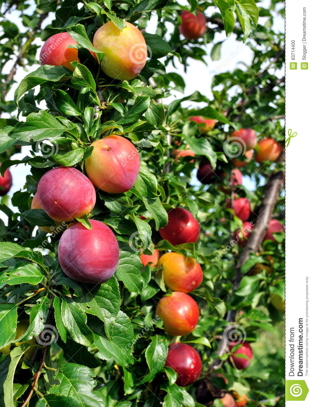 Ripe Plums On A Tree Branch Stock Photo