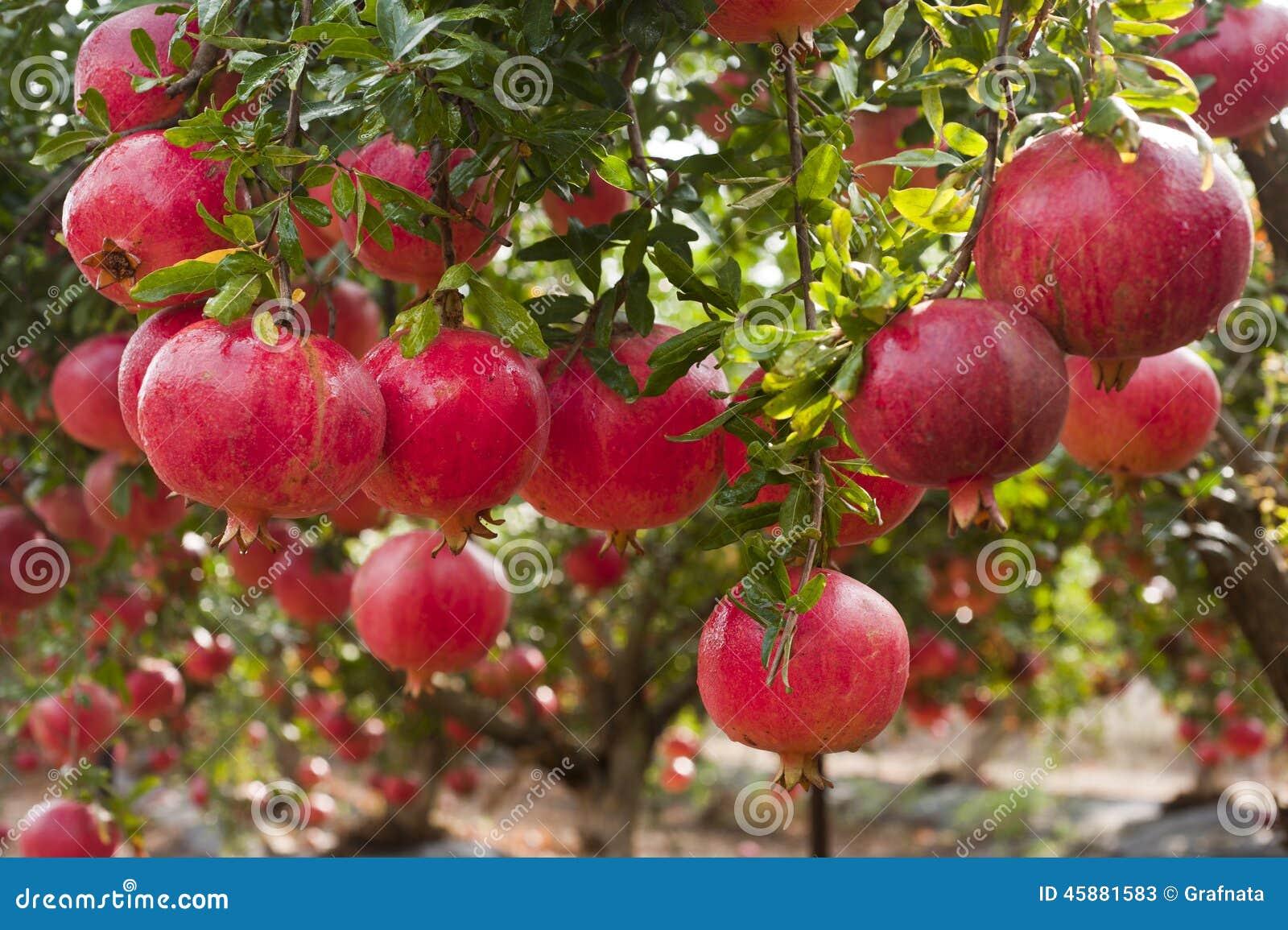Ripe pomegranate fruit on tree branch stock photo image for Arbol granada de jardin
